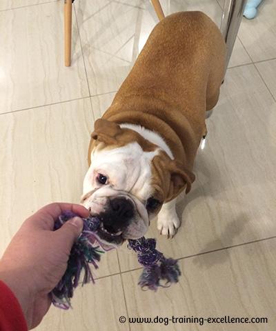 bulldog playing tug, bulldog training, bulldog biting