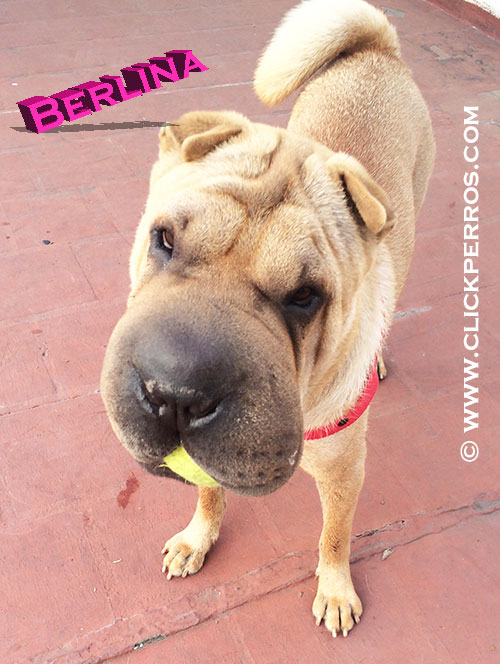 find a dog name, dog name shar pei