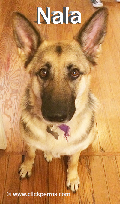 dog names for girls, german shepherd dog names