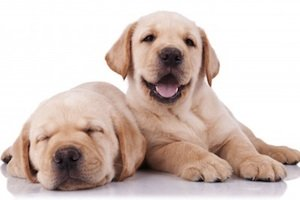 two cute labrador pappies by Viorel Sima