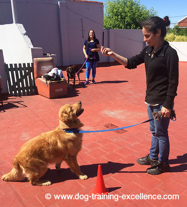 Golden retriever training to sit