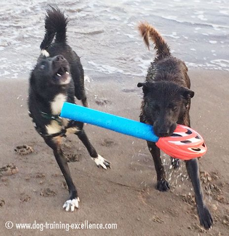 dogs playing at the beach, dog barking