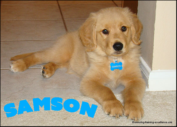 names for golden retriever puppies, golden retriever names, golden retriever puppy pic