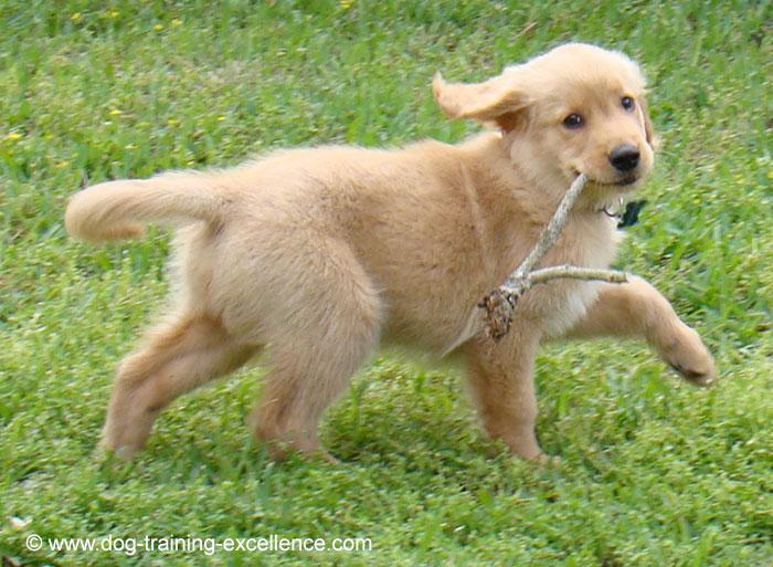 golden retriever dog names, golden retriever puppy pic