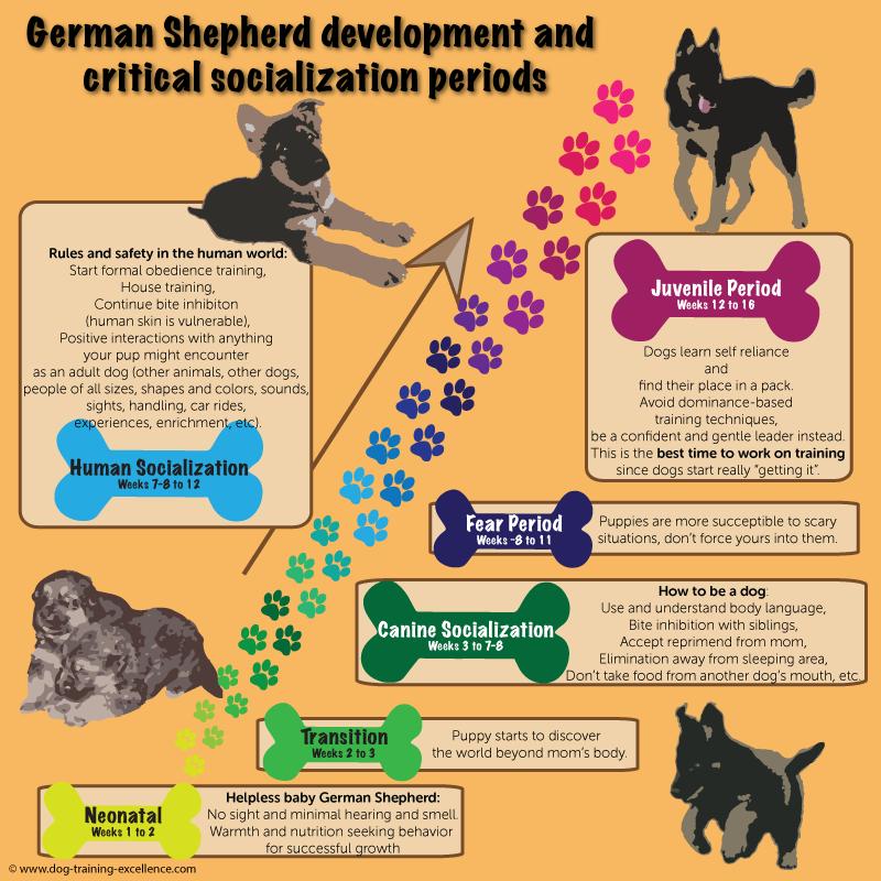 german shepherd puppy training, socialization, developemental stages