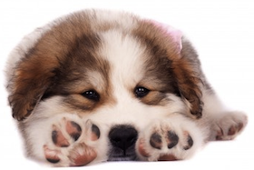 Bucovinean Sheperd puppy laying down by Viorel Sima