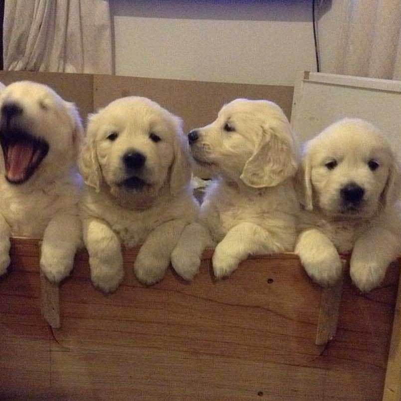 Golden retriever puppies scotland