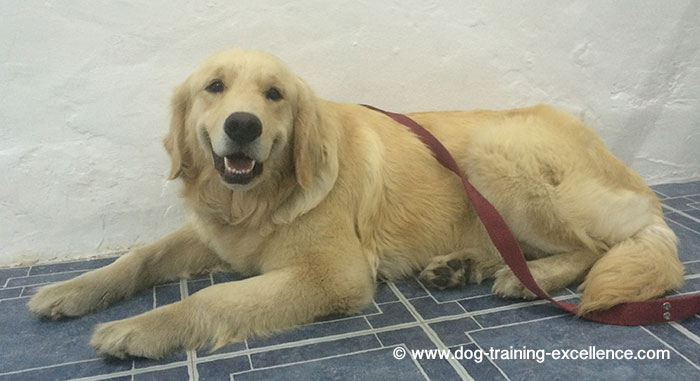 Best Golden Retriever Training Guide