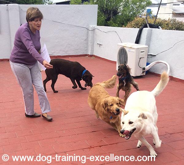Golden retriever training exercises