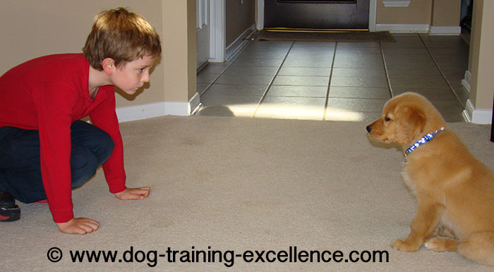 Golden retriever training, golden retriever puppy pic