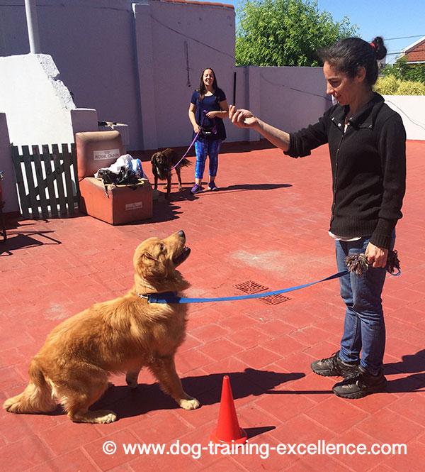 Golden retriever training to sit
