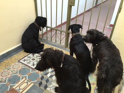My crew of 4 Giant Schnauzer mixes