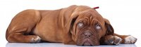 French Mastiff dog down with sad face by Viorel Sima