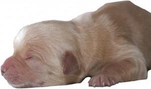 Golden Retriever puppy one day old by Suriya Silsaksom