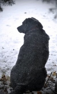 Black labrador in the snow by Marjorie Bull