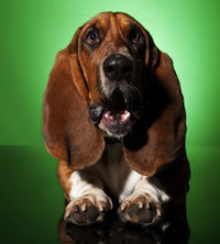 Basset Hound dog surprised face by Viorel Sima
