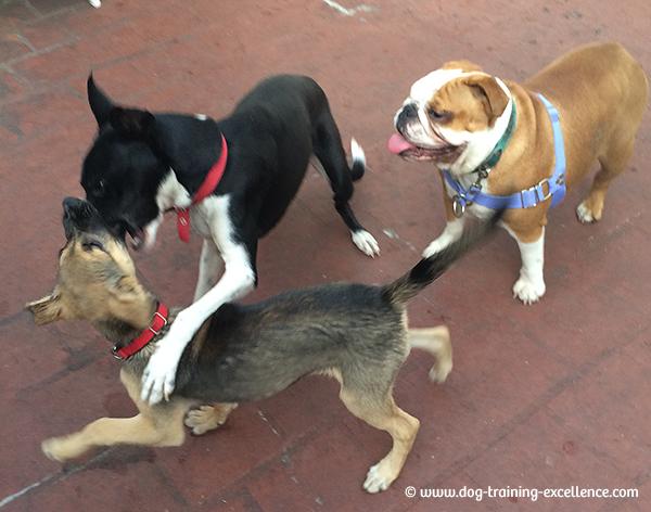 bulldog puppy playing, bulldog training, bulldog socialization