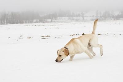 Labrador walking on snow by Jaromír Chalabala