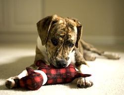 puppy playing with red toy by Photokitchen
