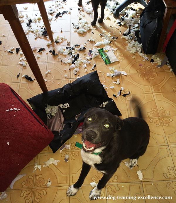 dog destroying home, dog home destruction, dog chewing