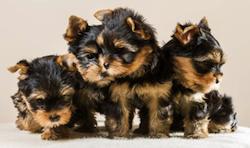 Yorkshire puppies by Jacek Novak